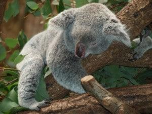 koala-bear-lazy