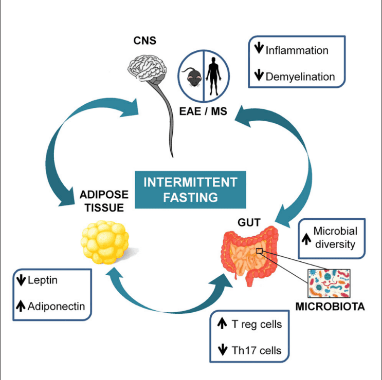 Intermittent Fasting: Good or Bad for Your Gut Bacteria